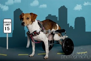Beagle in a wheelchair