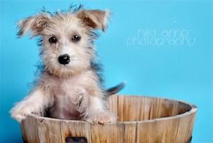 Mollie scruffy puppy in a barrel