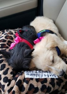 blonde and black puppies sleeping in a car