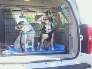Dogs ready for transport